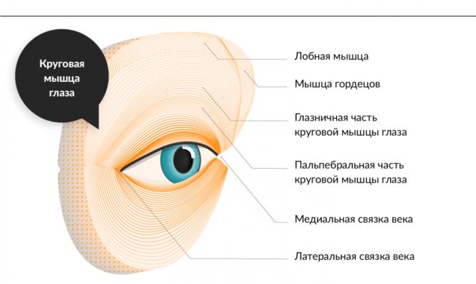 Строение окологлазных мышц человека