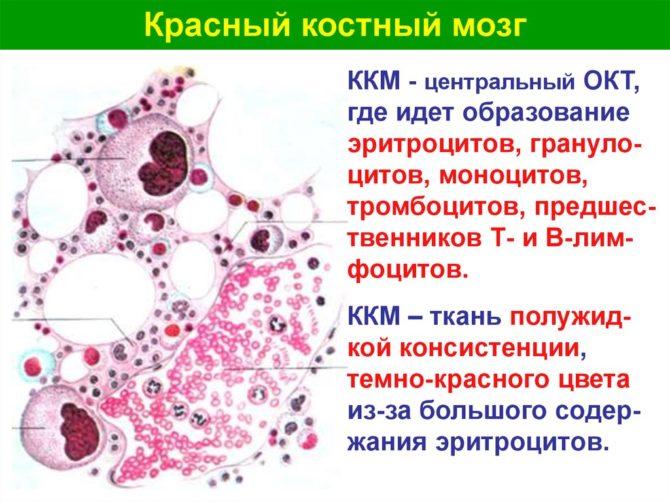 Красный костный мозг (схема)