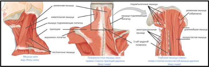 Мышцы шеи (схема)