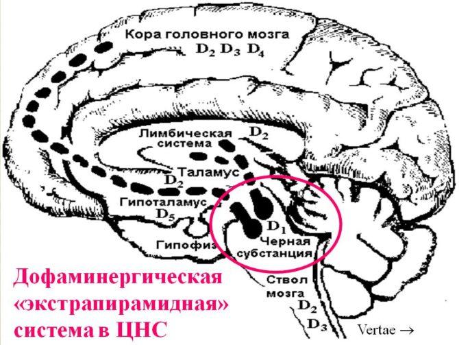 Экстрапирамидная система головного мозга