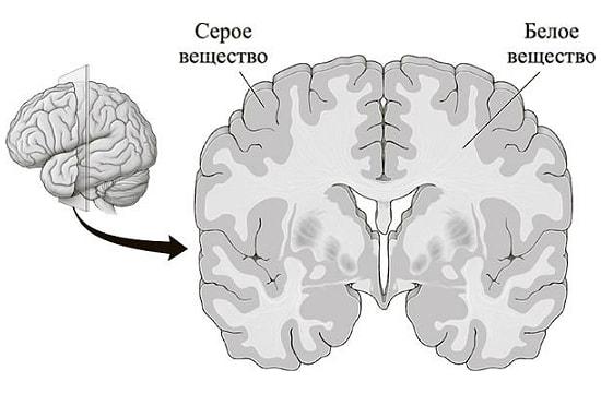 Серое и белое вещество головного мозга (схема)