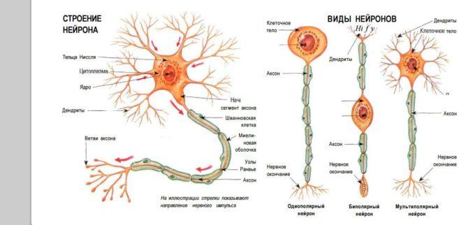 Строение нейронов (схема)