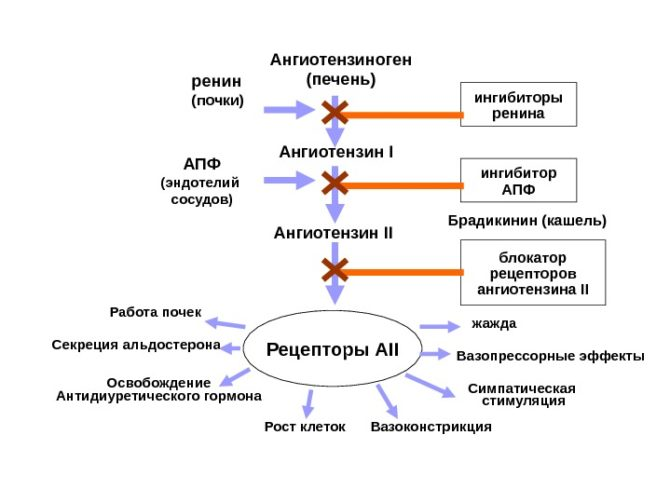 Схема действия вещества ренина на сосуды