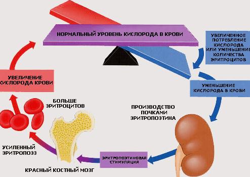 Схема влияния эритропоэтина на красные клетки крови