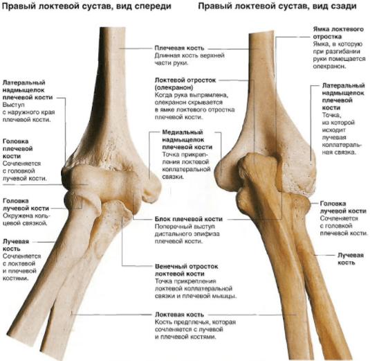Анатомическое строение локтевого сустава