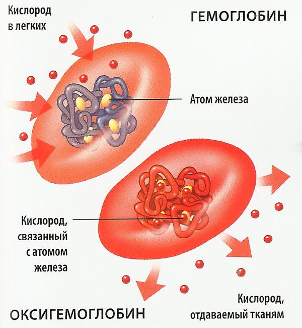 Эритроцит (схема)