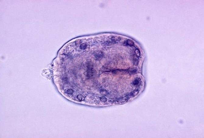 личинка эхинококка