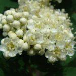 Цветки рябины