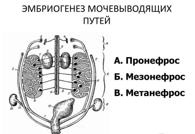 Схема внутриутробного формирования почек