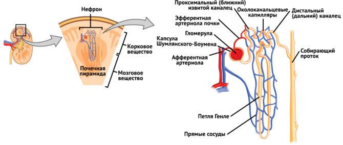 Строение нефрона (схема)