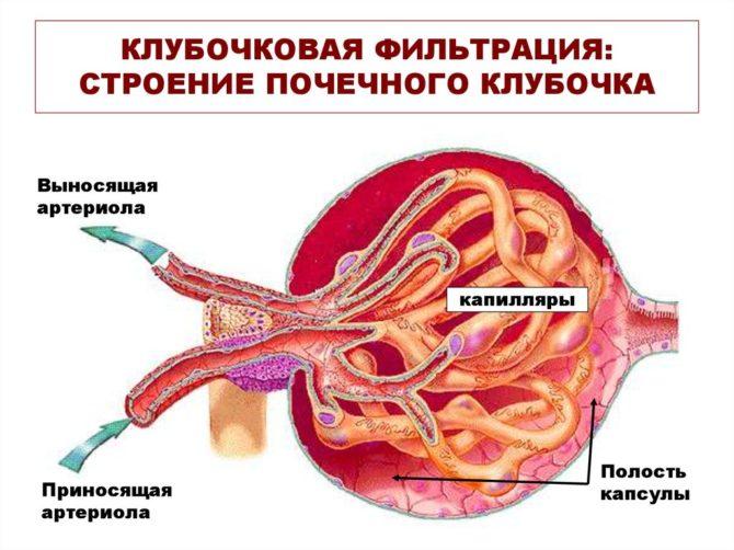 Строение почечного клубочка (схема)