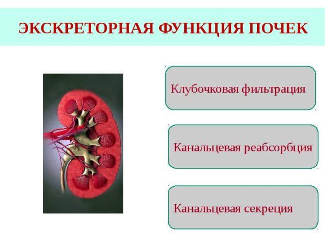 Функции канальцев