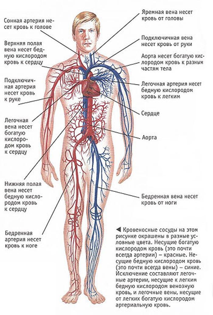артерии строение в картинках хирурга может быть