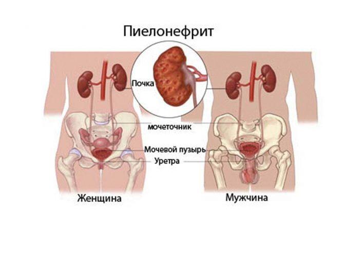 Строение мужской и женской мочеполовой системы