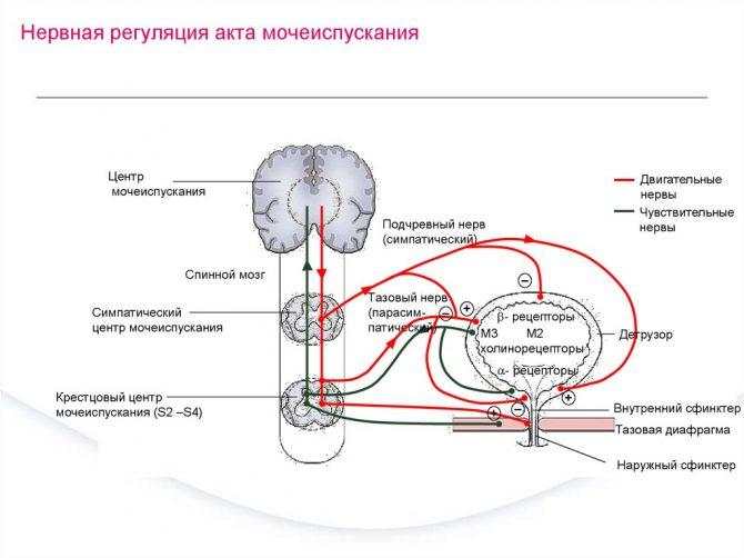Нервная регуляция акта мочеиспускания