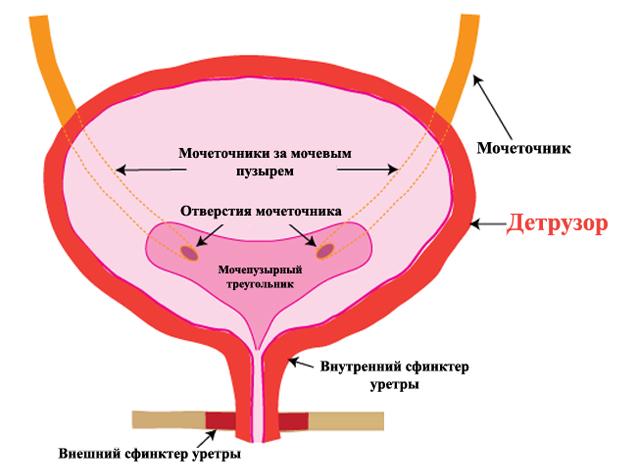 Детрузор мочевого пузыря