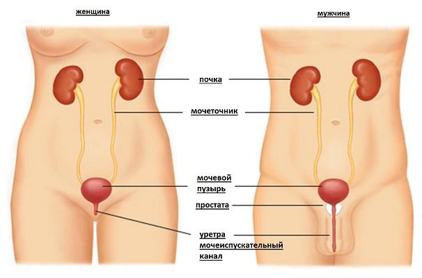 Женская и мужская мочеиспускательная система