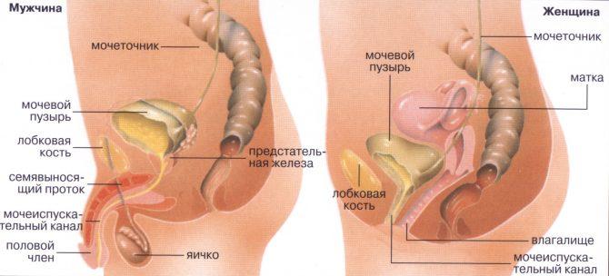 Строение женской и мужской мочеполовй системы