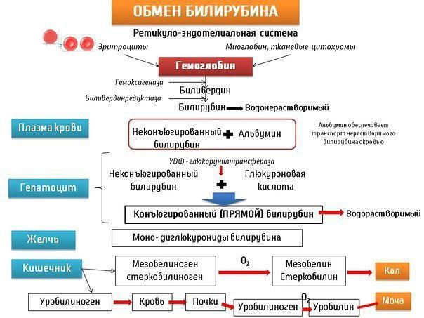 Обмен билирубина в организме (схема)